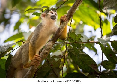 A Squirrel monkey in the amazon rainforest in Colombia