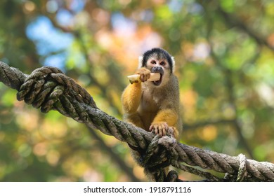 Squirrel monkey is eating, soft green background