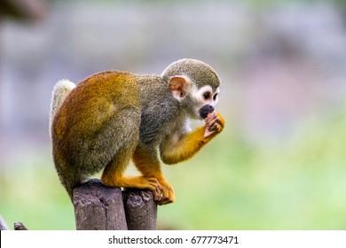 squirrel monkey eats
