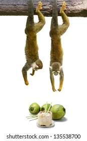 Squirrel monkey hanging above coconut.