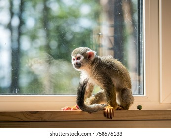 Squirrel monkey home pet (not in wildlife)