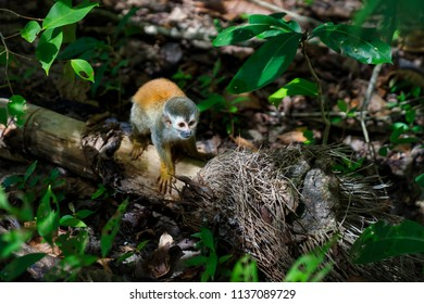 squirrel monkey in a jungle of Costa Rica