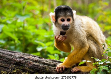 Squirrel monkey (Macro)