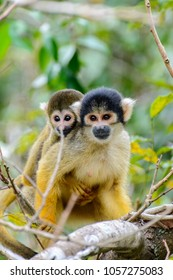 Squirrel monkey mother and baby sitting on a branch in the Amazon jungle, Bolivia