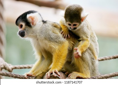 A squirrel monkey mother with her child on his back