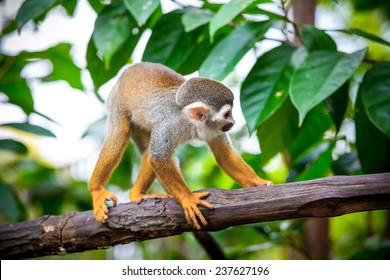 Squirrel monkey in natural habitat, rain forest and jungle, playing and moving around