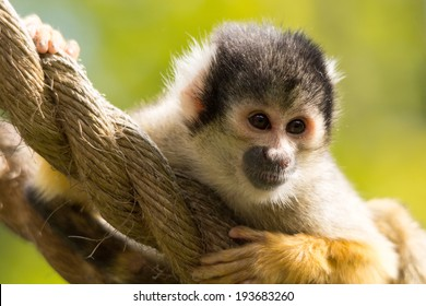 Squirrel monkey on rope swing