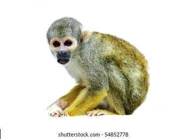 Squirrel monkey on the white background