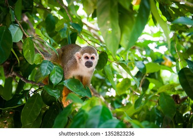 squirrel monkey preparing for jump, little monkey sitting on a tree