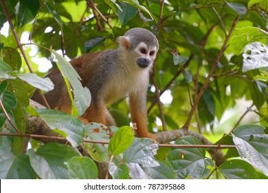 Squirrel Monkey (Saimiri sciureus) in Cuyabeno Wildlife Reserve (Amazonia, Ecuador)