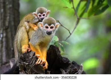 Squirrel Monkey small cute baby