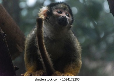 Squirrel monkey. It survives even in the remaining forests in areas where human activity has changed the natural habitat, provided there is sufficient supply of fruits and insects