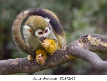 Squirrel Monkey with Tail Framing Head and Body