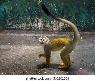 Squirrel monkey in zoo.