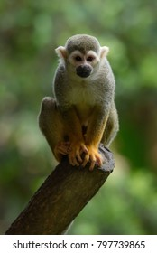 Squirrel monkey in the zoo, resting on the tree.
