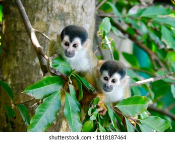 Squirrel Monkeys in Carate Costa Rica