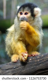 Squirrel monkeys are New World monkeys of the genus Saimiri. They are the only genus in the subfamily Saimirinae. The name of the genus is of Tupi origin Squirrel monkeys live in the tropical forests