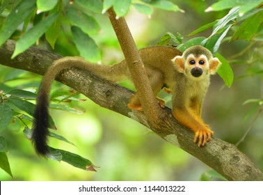 Squirrel monkeys on the tree in the zoo.
