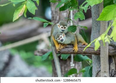 Squirrel Monkey,Saimiri sciureus on the nature.