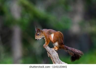 squirrel nature background