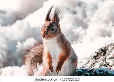 Squirrel in nature. Squirrel portrait