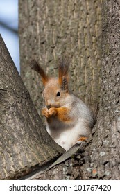 squirrel in a nest between three tree trunks