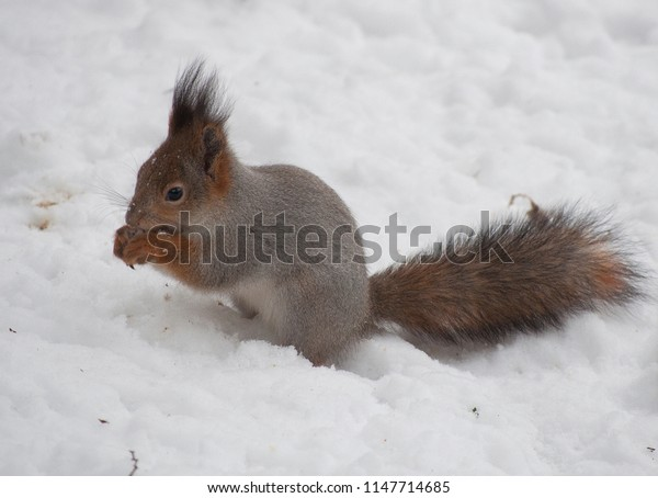 Squirrel with a nut in the snow