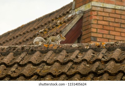 Squirrel on the apex of the tiled roof of a house
