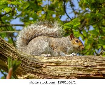 Squirrel on a branch. Putney Heath, London, UK