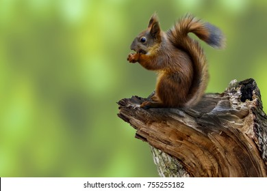 Squirrel on a broken tree eating nuts or seeds. Squirrel in the woods or in the Park on a green background. Stump