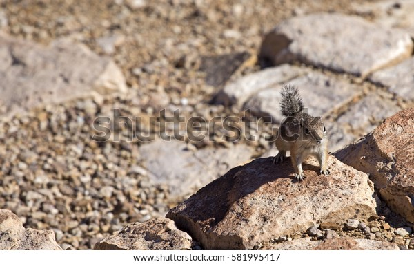 Squirrel on a rock of the Grand Canyon near Las Vegas, Nevada