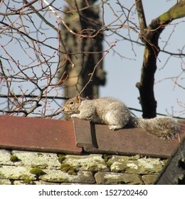 Squirrel on a roof, at city. Man-made / artificial versus natural concept.  Cute tiny animal on bricks. Urban wildlife.