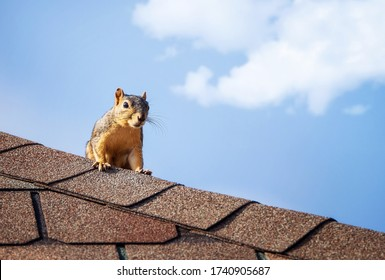 Squirrel on the roof top. Blue sky white clouds background with copy space.