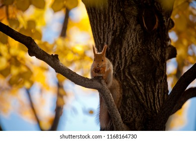 A squirrel on a tree bough is eating nuts. Russian Autumn