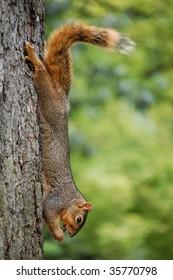 Squirrel on tree eating cicada