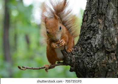 Squirrel on the tree eats forest nuts