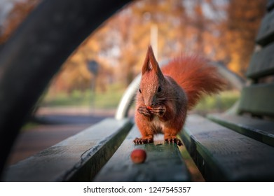 Squirrel in the park sitting on a bench, eating a nut. Beautiful red squirrel