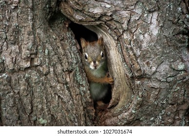 I squirrel peaks out a hole in a tree and is looking at the camera with one of its paws holding the side of the hole like it is a door.