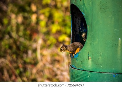 Squirrel peeking out of a garbage can
