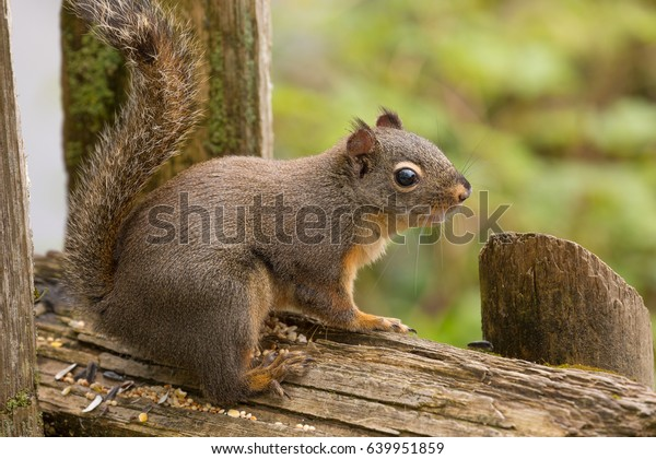 squirrel-perched-on-post-eating-600w-639