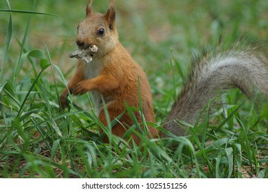 A squirrel in a pine park eats nuts from the hand.