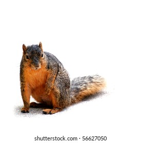Squirrel pondering, isolated on white with shadow, horizontal