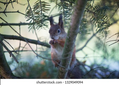 The squirrel is posing on a spruce tree branch and hopes to get more peanuts from the photographer