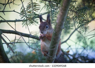 The squirrel is posing on a spruce tree branch and hopes to get nuts from the photographer