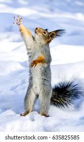 Squirrel raises his paw. Squirrel winter. Squirrel in snow