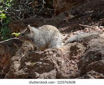 A squirrel at rest among rocks; Tonto Natual Bridge State Park