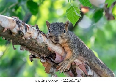 Squirrel Resting on the Branch of a River Birch Tree