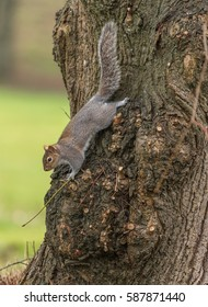Squirrel running down trunk