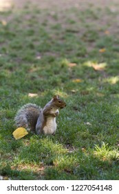 Squirrel running into a park with a wallnut
