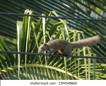 Squirrel running on electric  power line with lush green foliage background in Thailand.